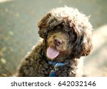 Portuguese Water Dog Wags His...