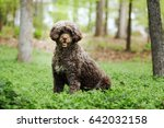 Portuguese Water Dog Stands...