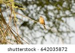 Small photo of Silverbird (Melaenornis semipartitus) Perched on Branch in Northern Tanzania