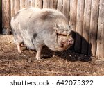 Large Hairy Big Very Fat Pig...