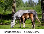foal and its mother in the... | Shutterstock . vector #642090592