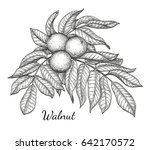 ink sketch of walnut branch.... | Shutterstock .eps vector #642170572