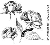 peony flowers drawing vector... | Shutterstock .eps vector #642235735