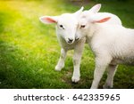 two lambs cuddling on the grass | Shutterstock . vector #642335965