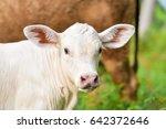 cow | Shutterstock . vector #642372646
