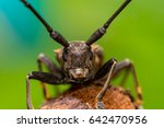 Small photo of Front view of brown Spined Oak Borer Longhorn Beetle (Arthropoda: Insecta: Coleoptera: Cerambycidae: Elaphidion mucronatum) crawling on a tree branch isolated with buttery, smooth, green background