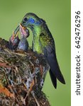 Small photo of Bird behaviour. Adult hummingbird feeding two chicks in the nest, Green Violet-ear, Colibri thalassinus, Savegre, Costa Rica. Wildlife scene from nature. Hummingbirds in the nest