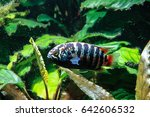 Small photo of Zebra Acara Cichlid Fish (Ivanacara adoketa)