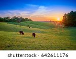 Field Of Cows Grazing At Sunset