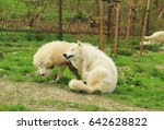 Small photo of two white arctic wolves (Canis lupus arctos ) – alpha male scratching itself and submissive one next to it