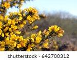 Flowering Common Gorse  Ulex...