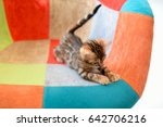 Stock photo cute bengal kitten in a multi colored chair 642706216