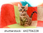 Stock photo cute bengal kitten in a multi colored chair 642706228