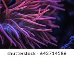 macro shoot of anemone... | Shutterstock . vector #642714586