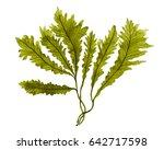 Green Seaweed  Kelp In The...
