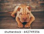Stock photo shar pei puppy sleeping on the floor 642749356