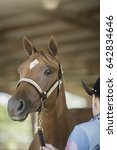 Small photo of American Quarter Horse Halter Filly