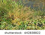 weed symptom after spraying... | Shutterstock . vector #642838822