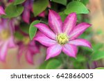 Pink And White Clematis Flower...