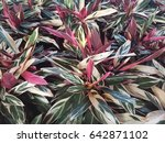tropical plant with red  green  ... | Shutterstock . vector #642871102