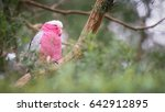 galah  rose breasted cockatoos  ... | Shutterstock . vector #642912895