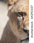 Close Up Portrait Of A Majesti...