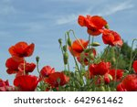 Small photo of red poppy flowers with a blue sky background - Papaver rhoeas - Papaveraceae - Ranunculales