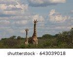 wild giraffe mammal africa... | Shutterstock . vector #643039018