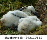 2 white stork chicks in nest ... | Shutterstock . vector #643110562