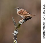 Small photo of hedge accentor on a branch