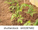 plant a sapling a tomato bush... | Shutterstock . vector #643287682
