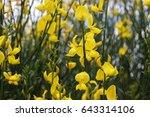 spanish broom or weaver's broom ...   Shutterstock . vector #643314106