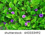 Lilac Flowers Of Bindweed With...