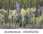 Aspen Grove And Spruce In Earl...