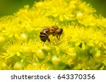 Honey Bee Pollinating A The...