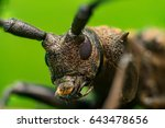 Small photo of Extreme front view of brown Spined Oak Borer Longhorn Beetle (Arthropoda: Insecta: Coleoptera: Cerambycidae: Elaphidion mucronatum) isolated with buttery, smooth, green background