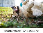 labrador with stick on meadow | Shutterstock . vector #643558372
