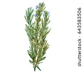 botanical drawing of a rosemary.... | Shutterstock . vector #643583506