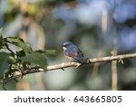 tickell's blue flycatcher | Shutterstock . vector #643665805