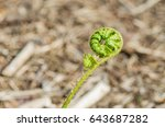 the stem of a green young fern... | Shutterstock . vector #643687282