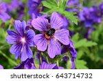 geranium purple flowers with...   Shutterstock . vector #643714732
