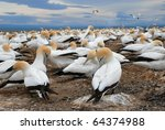 gannets at cape kidnappers... | Shutterstock . vector #64374988