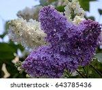 lilacs in the garden | Shutterstock . vector #643785436