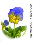 Small photo of Viola cornuta (Viola Mix) cut out