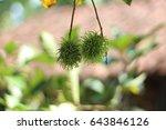 Nephelium Lappaceum  Or...