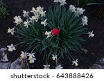 daffodil | Shutterstock . vector #643888426