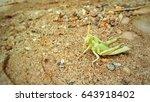 Green Grasshopper On Sand