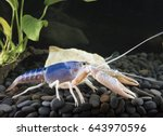 crayfish blue  red spotted... | Shutterstock . vector #643970596