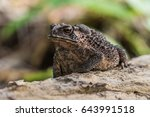 Common Toad On Timber Asian...