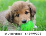 Stock photo cute border collie puppy is holding a ball in the mouth 643999378